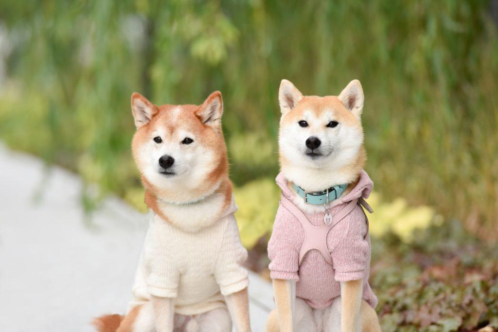 柴犬に服を着せるメリット