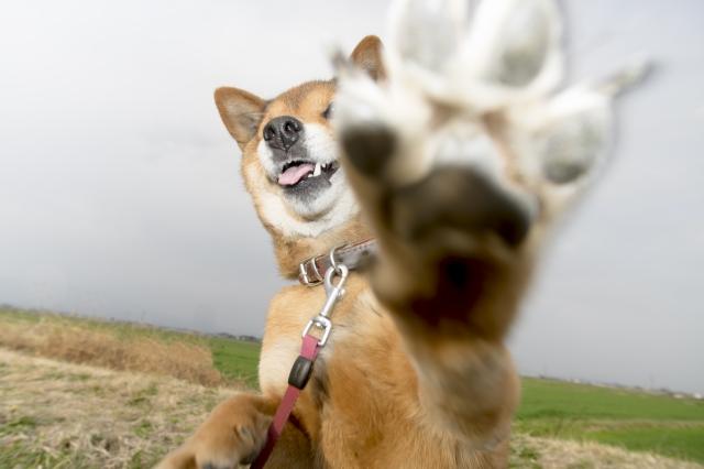 柴犬の爪切りのおすすめまとめ
