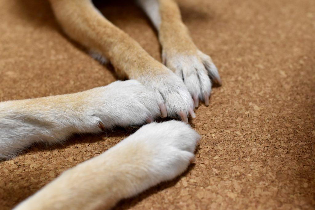 柴犬(成犬)の爪切りのおすすめ「ニッパータイプ」