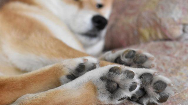 柴犬の爪切りの方法は?頻度や出血時の対処法