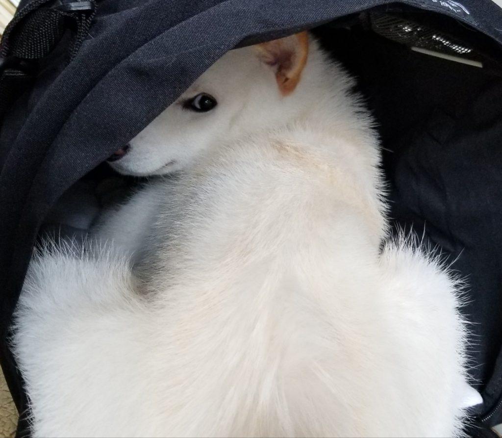柴犬の生理(ヒート)は痛みがあるの?
